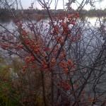 berries in canada